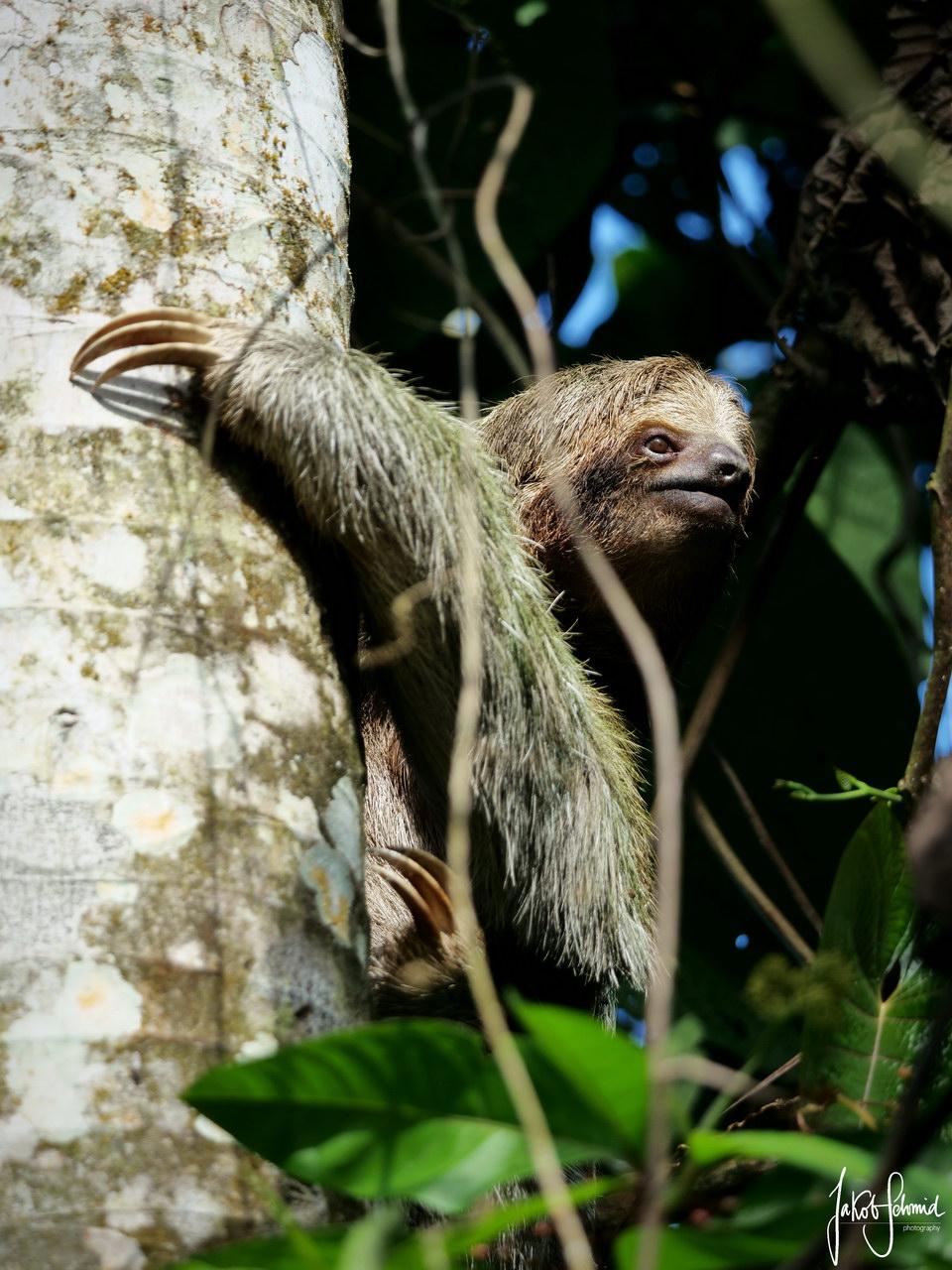 Costa Rica La Fortuna Dreifingerfaultier