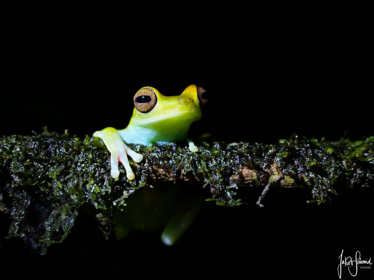 Costa Rica Laubfrosch