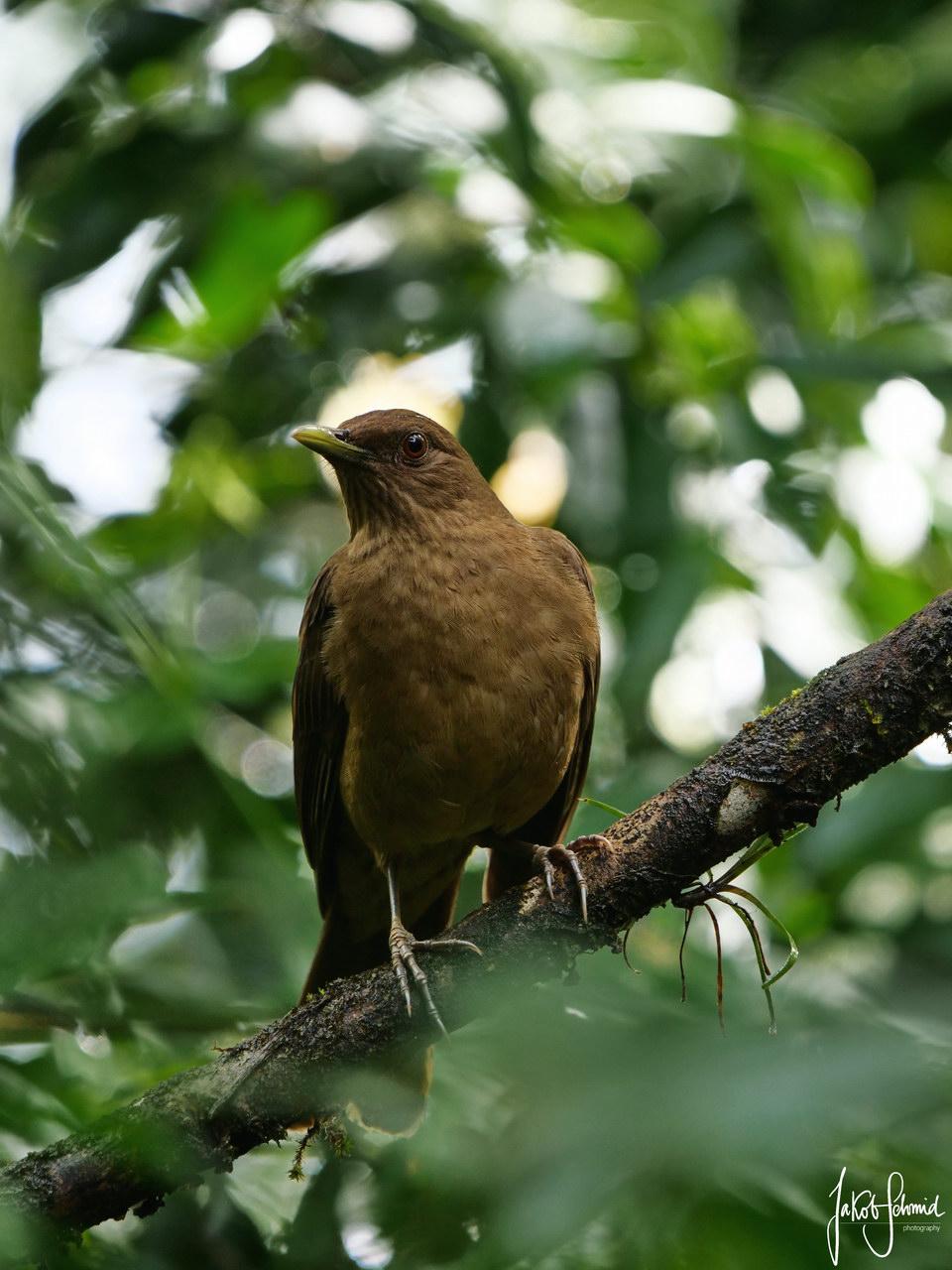 Costa Rica Nationalvogel Gilbdrossel