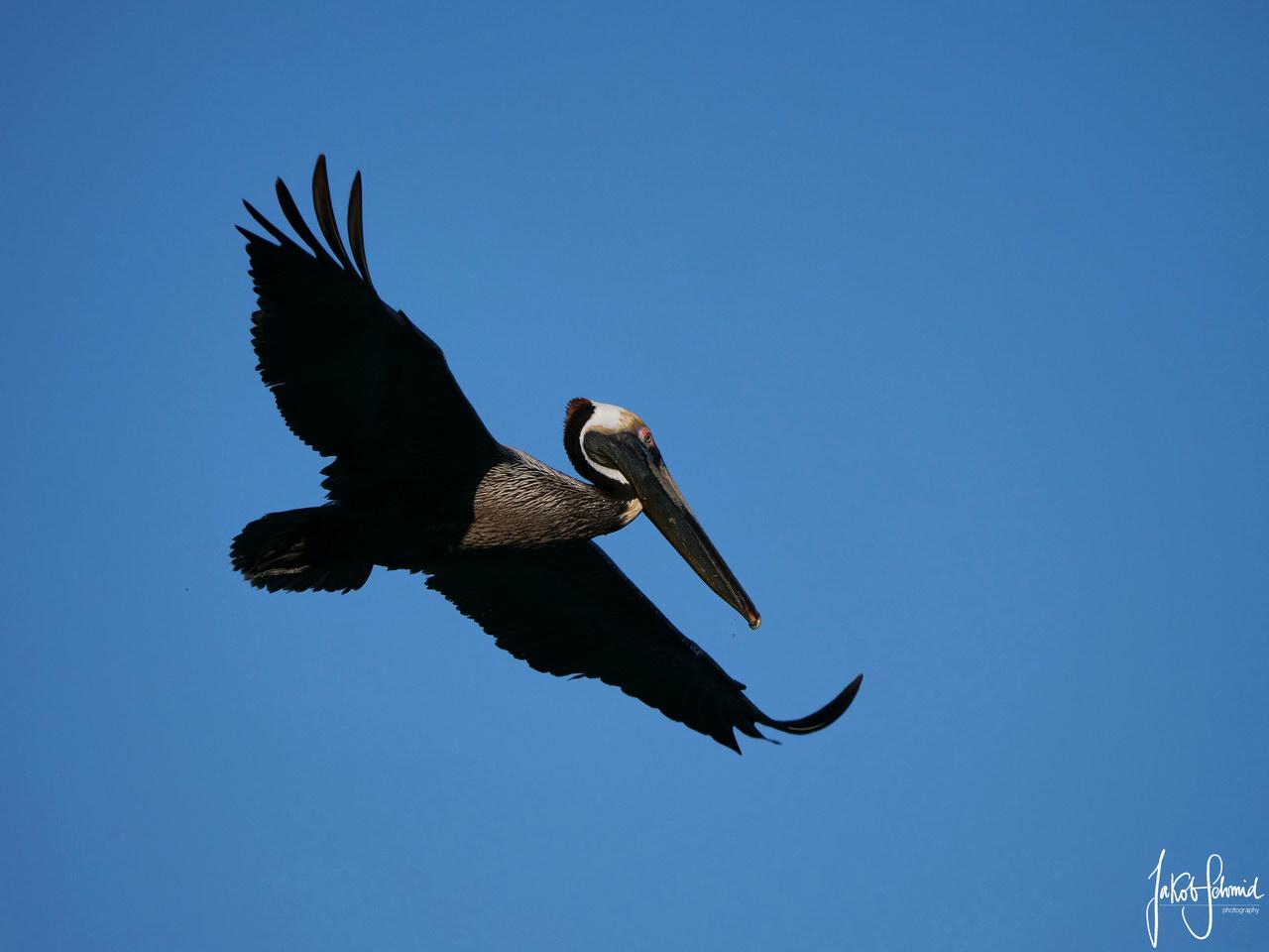 Costa Rica Pelikan