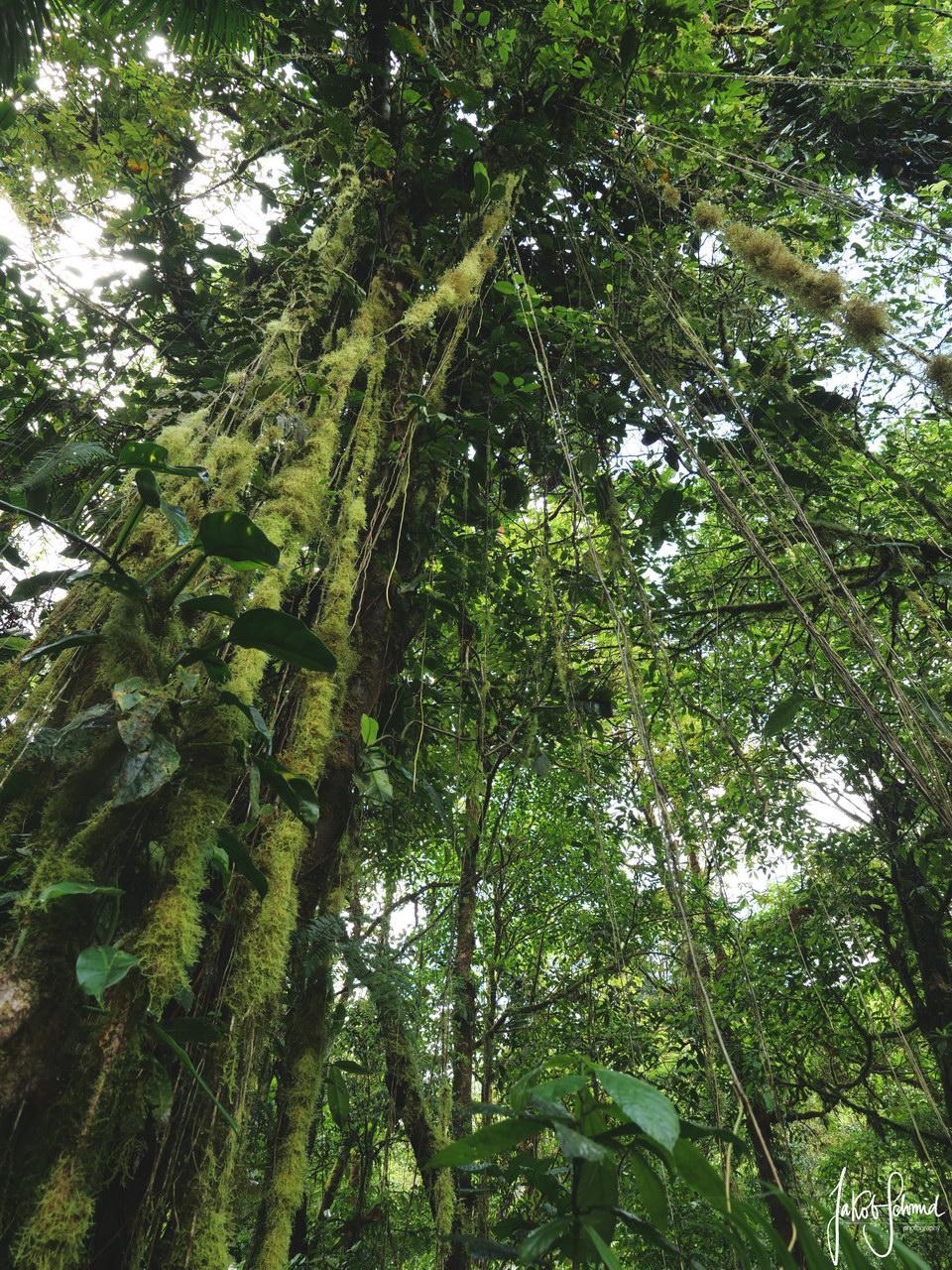 Costa Rica Regenwald Lianen
