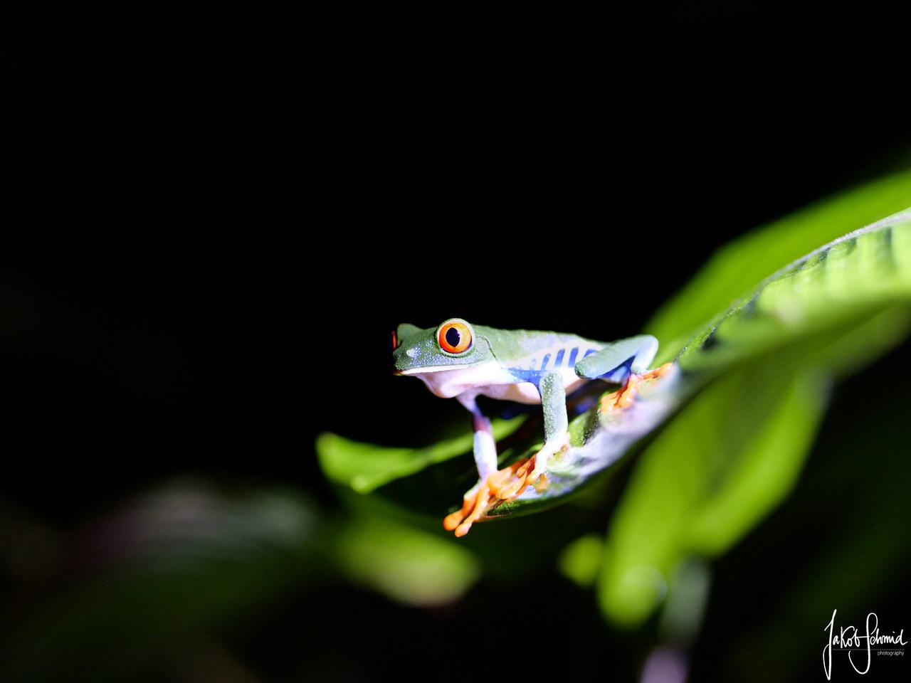 Costa Rica Rotaugen-Laubfrosch