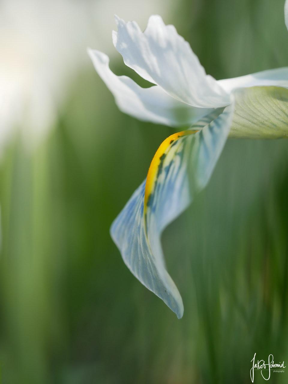 Iris Botanischer Garten München