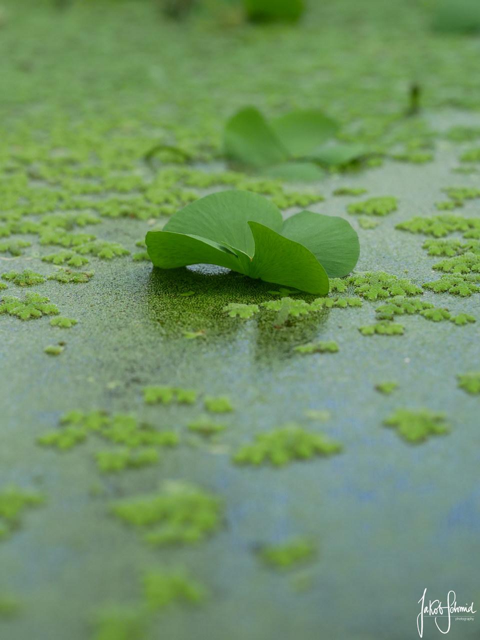 Wasser-Hyazinthe Makro Botanischer Garten Muenchen
