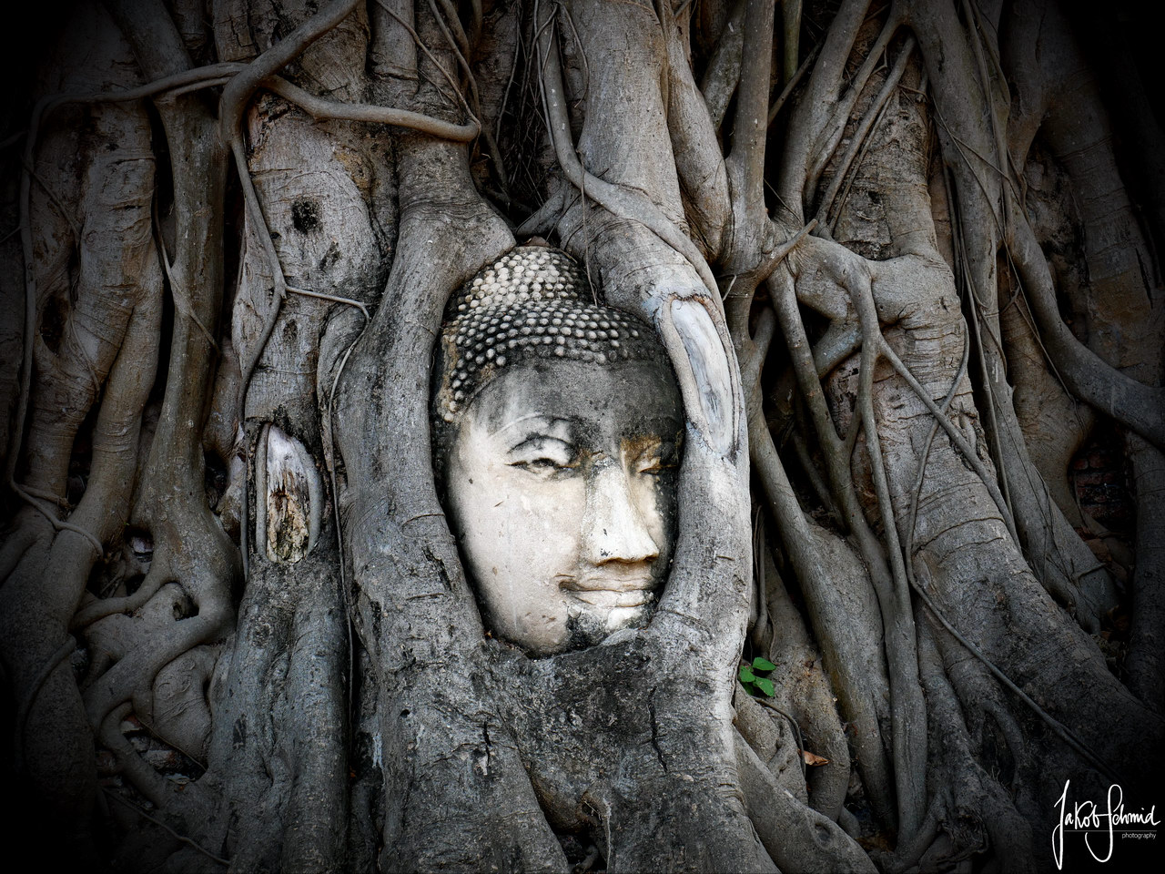 Thailand-Ayutthaya Wat Mahathat Buddha Baum