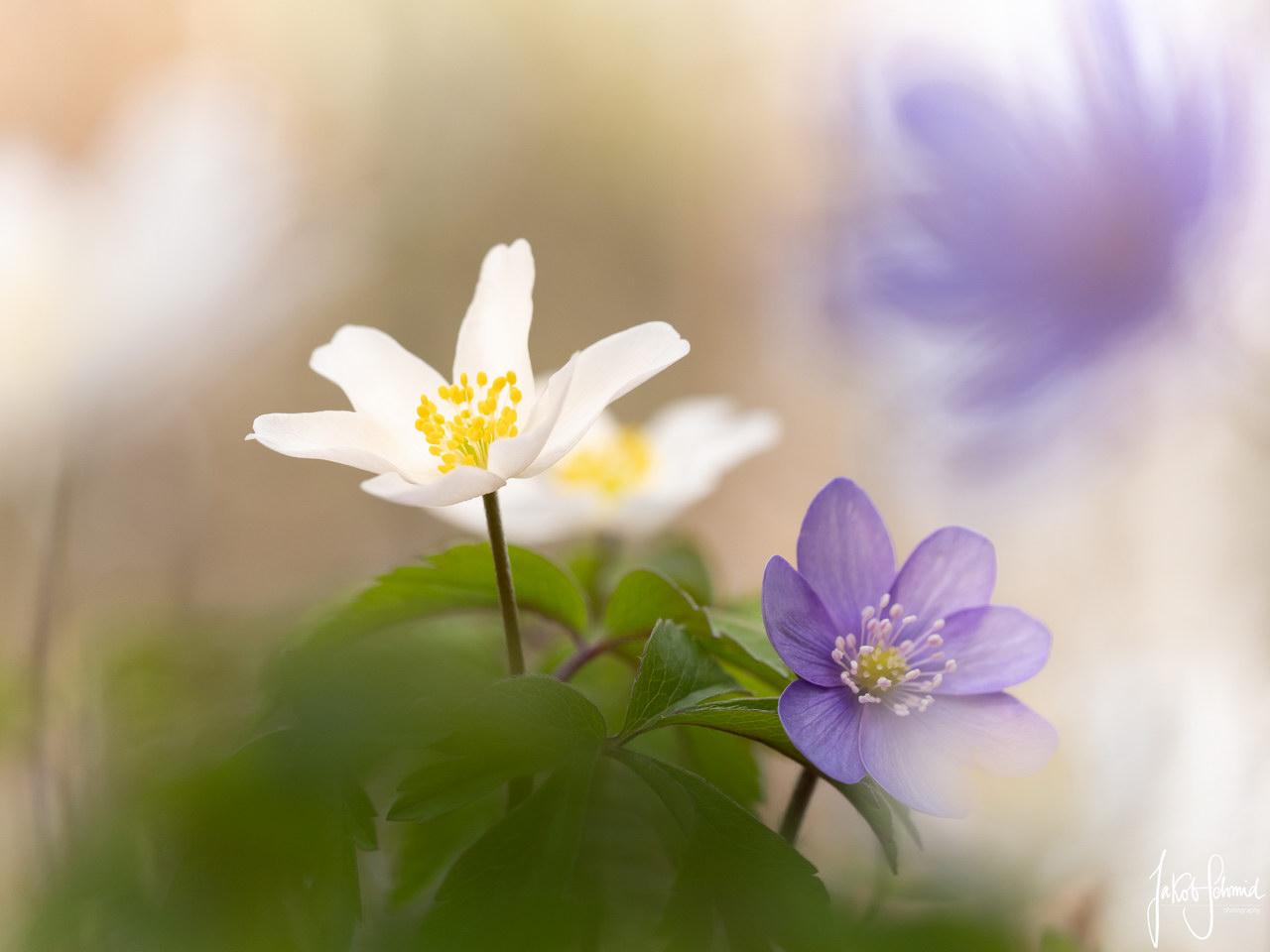 Makro Anemone Leberblümchen