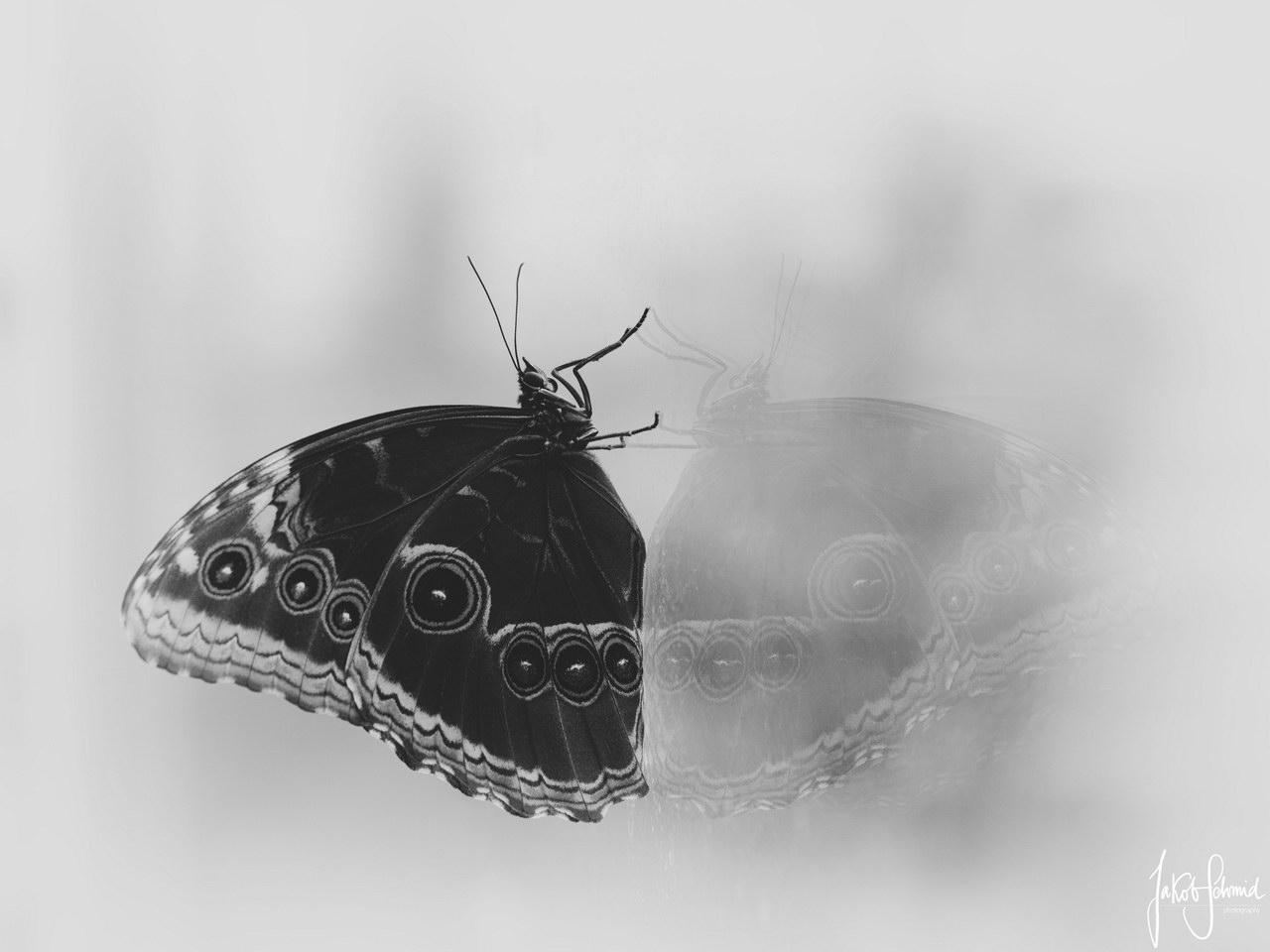 Makro Bananenfalter Schmetterling