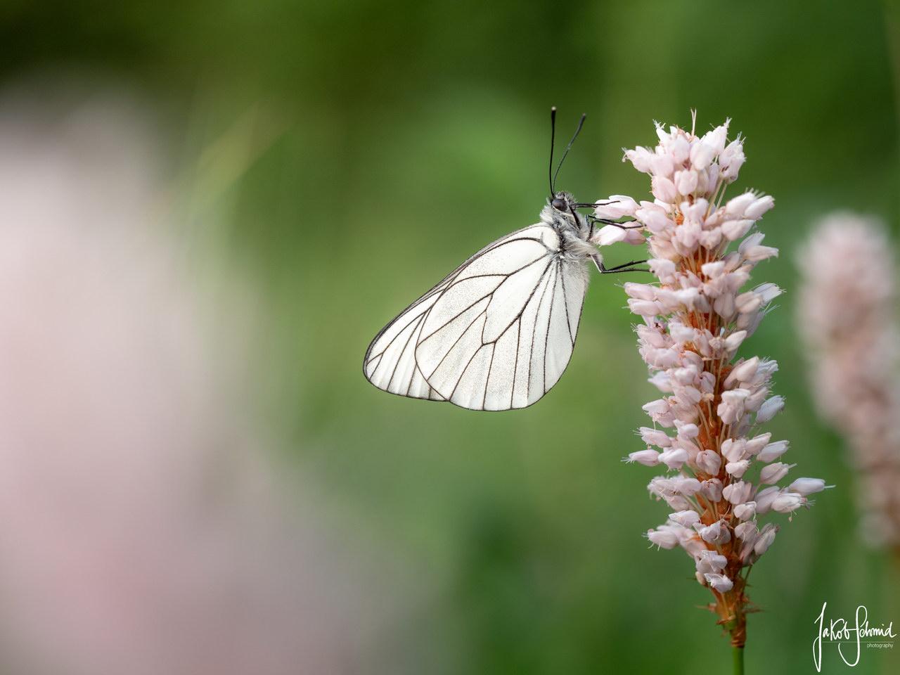 Makro Baumweissling Schmetterling