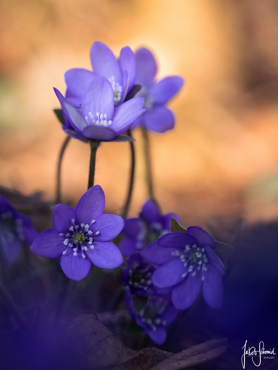 Makro Leberblümchen