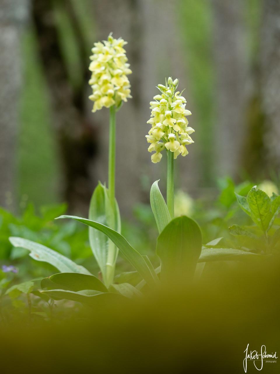 Blasses Knabenkraut Orchidee