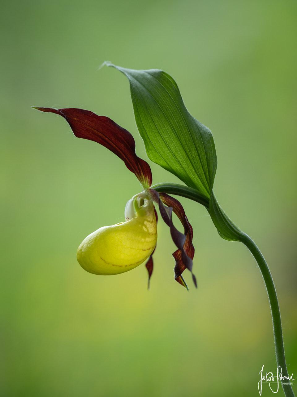 Gelber Frauenschuh Orchidee