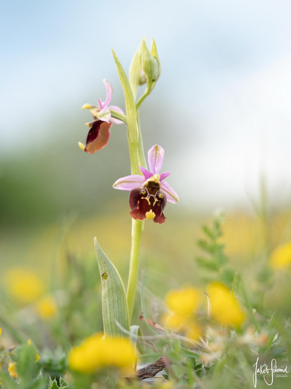 Orchidee Hummel-Ragwurz