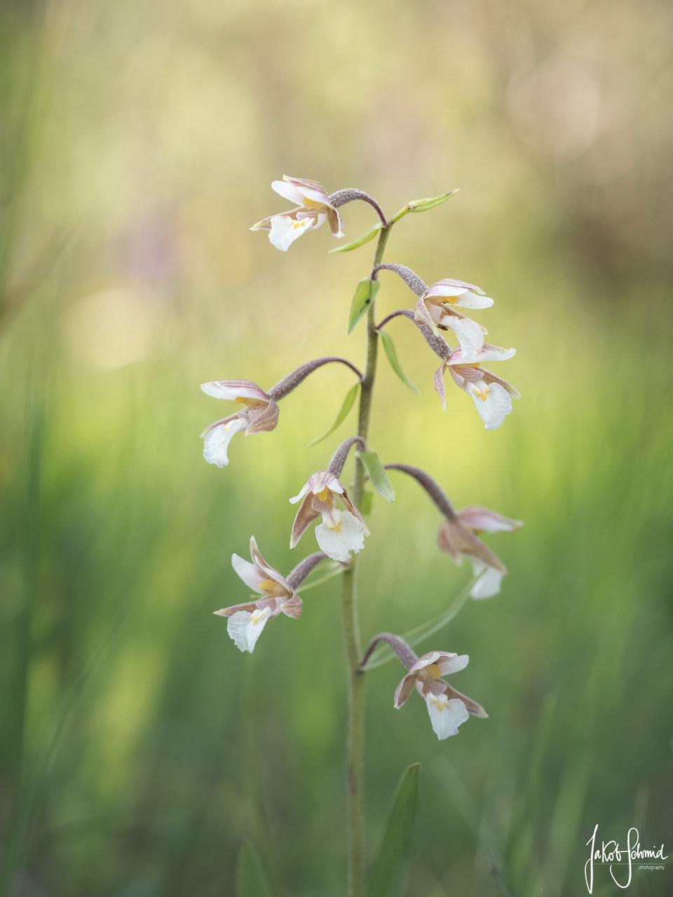 Sumpf-Stendelwurz Orchidee